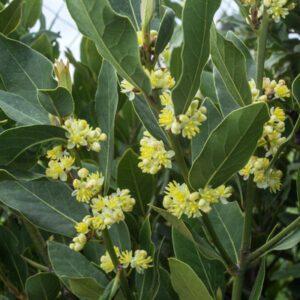 close up of bay laurel shrub